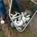 5077 Vis in een net gevangen