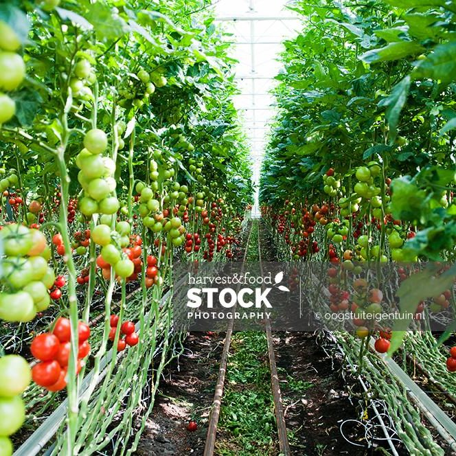 tomaten_1642_uit